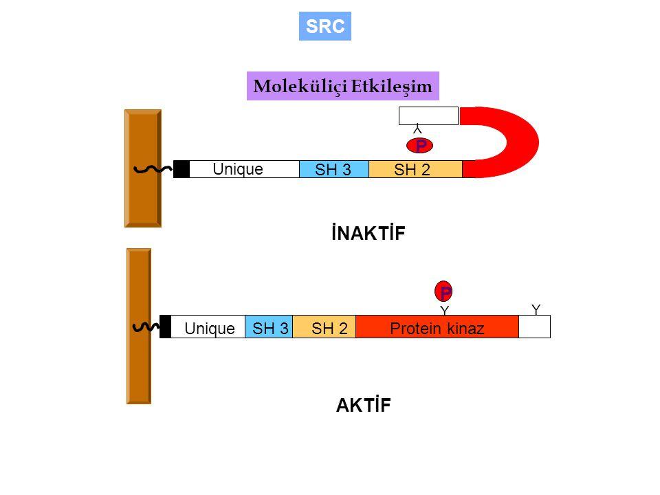 SH 3SH 2 Unique Y P İNAKTİF Moleküliçi Etkileşim SRC SH 3SH 2Protein kinaz Unique Y Y P AKTİF