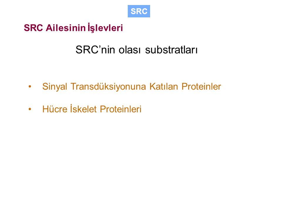 Sinyal Transdüksiyonuna Katılan Proteinler Hücre İskelet Proteinleri SRC SRC Ailesinin İşlevleri SRC'nin olası substratları