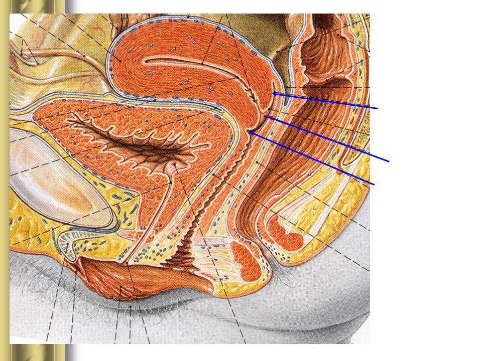 Fornix posterior Fornix anterior Ostium uteri