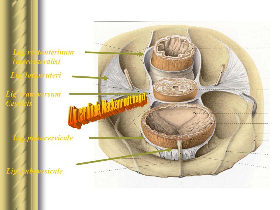 Lig. transversum Cervicis Lig. pubovesicale Lig. pubocervicale Lig. rectouterinum (uterosacralis) Lig. latum uteri