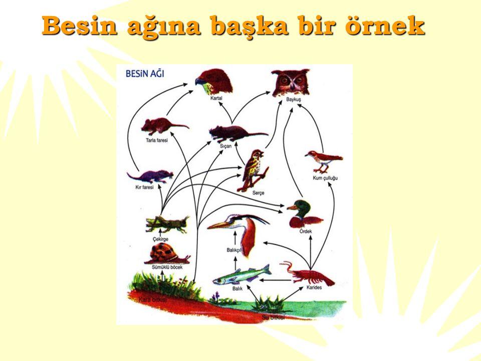 Besin ağına bir örnek  Bakın bu besin ağında kaç tane besin zinciri vardır? Lütfen hesaplayın.Tavşan otu yer,onu kartal veya yılan yiyebilir.