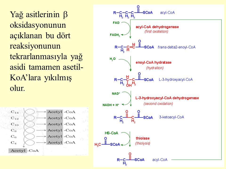 19 Yağ asitlerinin  oksidasyonunun açıklanan bu dört reaksiyonunun tekrarlanmasıyla yağ asidi tamamen asetil- KoA'lara yıkılmış olur.