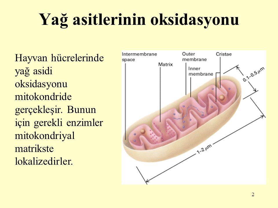 13 Yağ açil-KoA mitokondriyal matrikse alındıktan sonra  oksidasyon denen yolda yağ asitlerinden, karboksilli uçtan başlayarak asetil-KoA şeklinde iki karbonlu üniteler art arda çıkarılır.