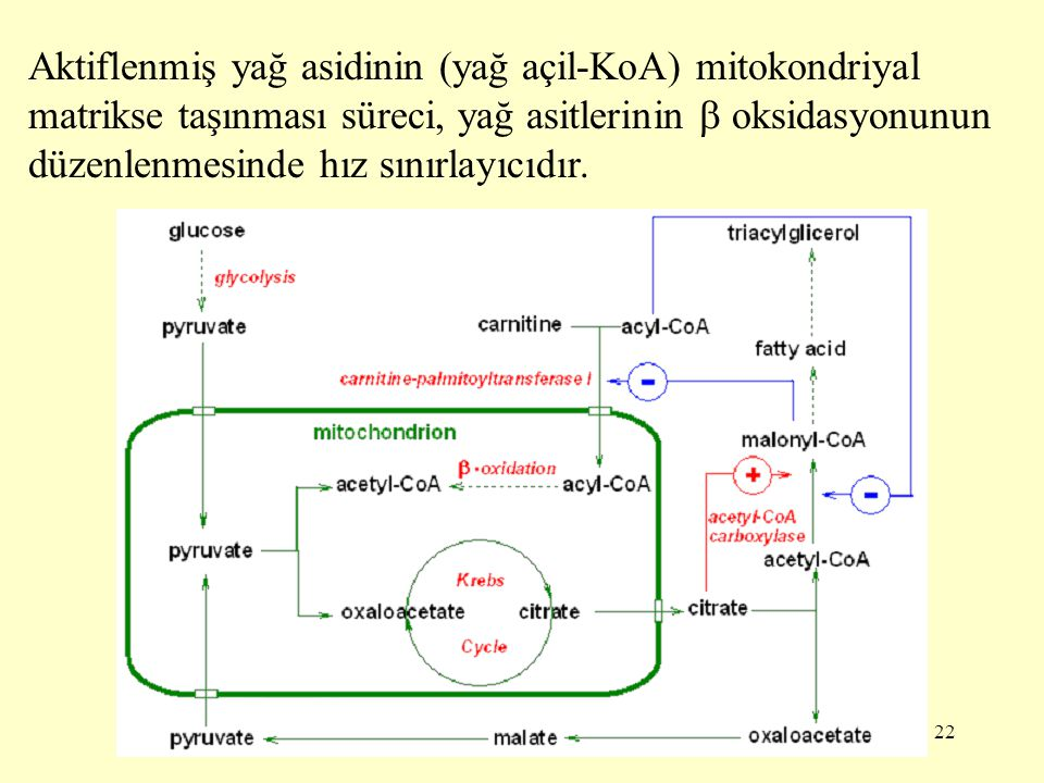 22 Aktiflenmiş yağ asidinin (yağ açil-KoA) mitokondriyal matrikse taşınması süreci, yağ asitlerinin  oksidasyonunun düzenlenmesinde hız sınırlayıcıdı
