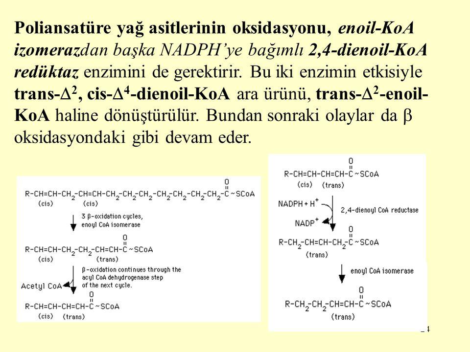 24 Poliansatüre yağ asitlerinin oksidasyonu, enoil-KoA izomerazdan başka NADPH'ye bağımlı 2,4-dienoil-KoA redüktaz enzimini de gerektirir. Bu iki enzi