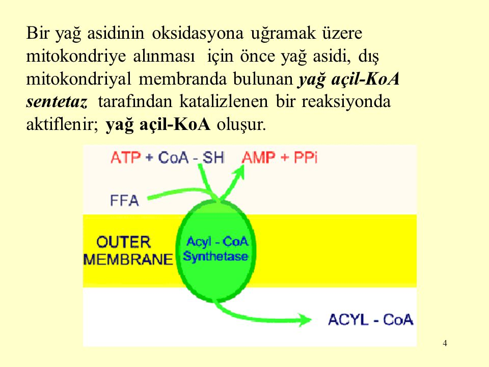 4 Bir yağ asidinin oksidasyona uğramak üzere mitokondriye alınması için önce yağ asidi, dış mitokondriyal membranda bulunan yağ açil-KoA sentetaz tara