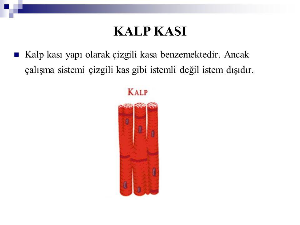 KALP KASI Kalp kası yapı olarak çizgili kasa benzemektedir. Ancak çalışma sistemi çizgili kas gibi istemli değil istem dışıdır.