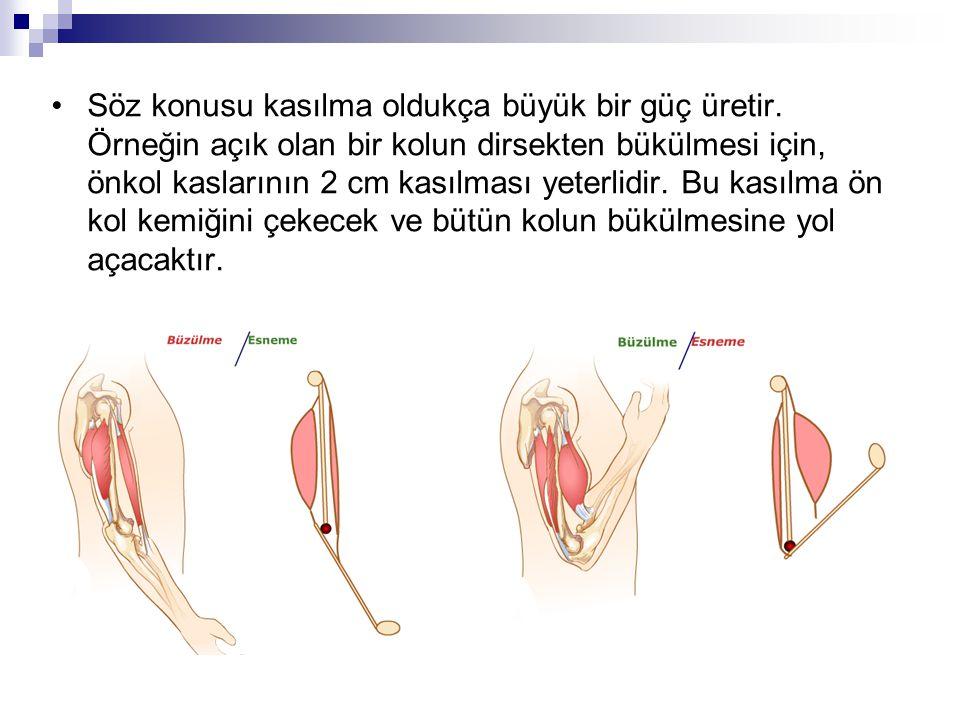 Söz konusu kasılma oldukça büyük bir güç üretir. Örneğin açık olan bir kolun dirsekten bükülmesi için, önkol kaslarının 2 cm kasılması yeterlidir. Bu