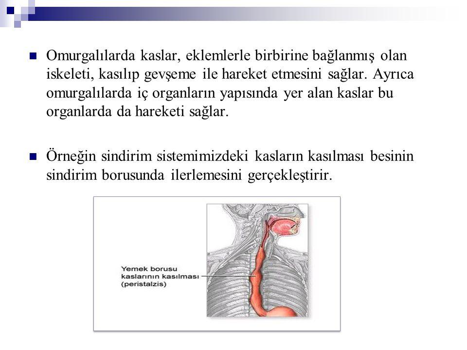 Omurgalılarda kaslar, eklemlerle birbirine bağlanmış olan iskeleti, kasılıp gevşeme ile hareket etmesini sağlar. Ayrıca omurgalılarda iç organların ya