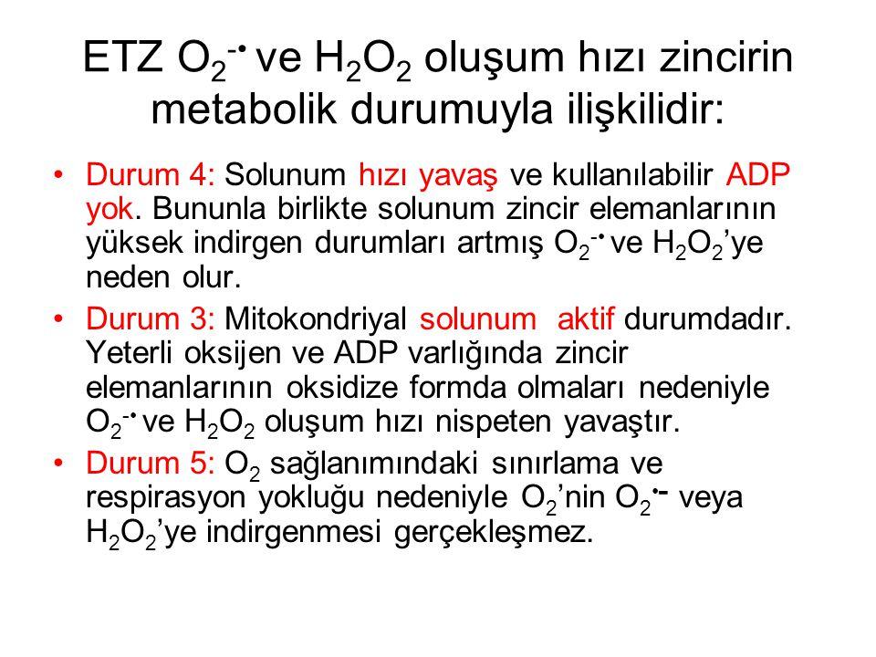 ETZ O 2 - ve H 2 O 2 oluşum hızı zincirin metabolik durumuyla ilişkilidir: Durum 4: Solunum hızı yavaş ve kullanılabilir ADP yok. Bununla birlikte sol
