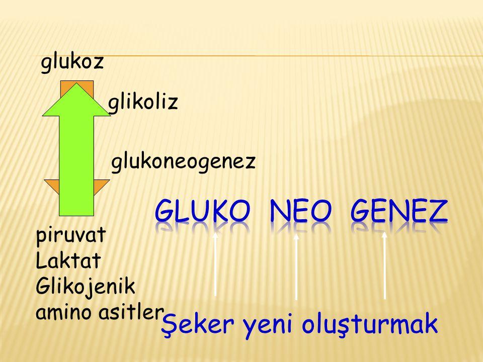 Şeker yeni oluşturmak glikoliz glukoz piruvat Laktat Glikojenik amino asitler glukoneogenez