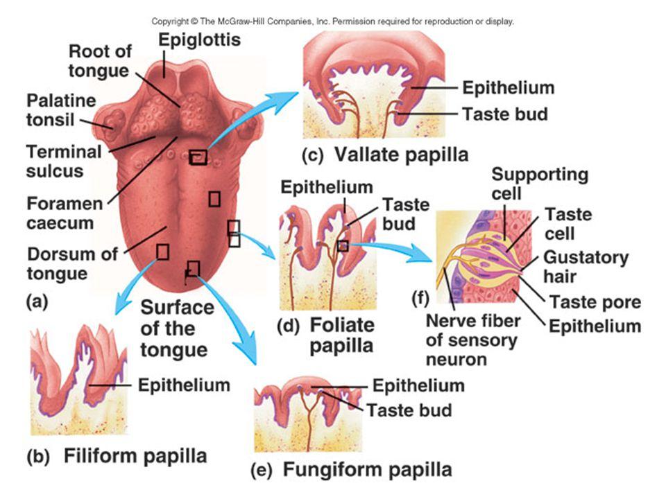 Her tad tomurcuğunda, birbirinden farklı dört tip hücre vardır: Her tad tomurcuğunda, birbirinden farklı dört tip hücre vardır: – Bazal, – açık renk, – koyu renk ve – ara hücreler Tabandaki bazal olanlar kök hücredir.