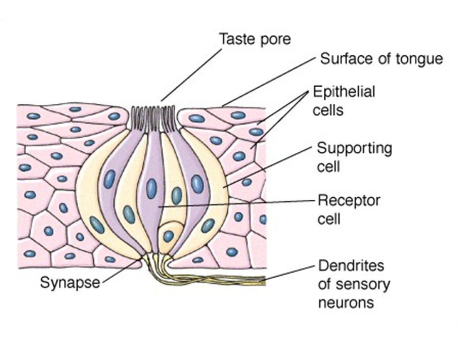 Hücreler bazal kutuplarında primer tad aferentleri ile inerve olurlar.