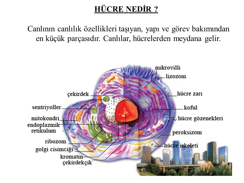 HÜCRE NEDİR .Canlının canlılık özellikleri taşıyan, yapı ve görev bakımından en küçük parçasıdır.