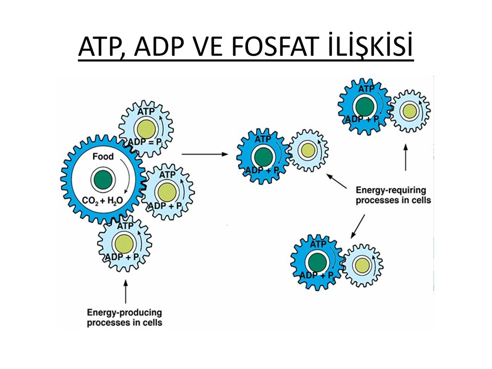 Hücrenin Enerji Mekanizması ATP'nin enerjisi onun ADP'ye dönüşmesine yol açan fosfat bağının hidrolizi ile açığa çıkar. Hücre içinde çeşitli enzim, mo