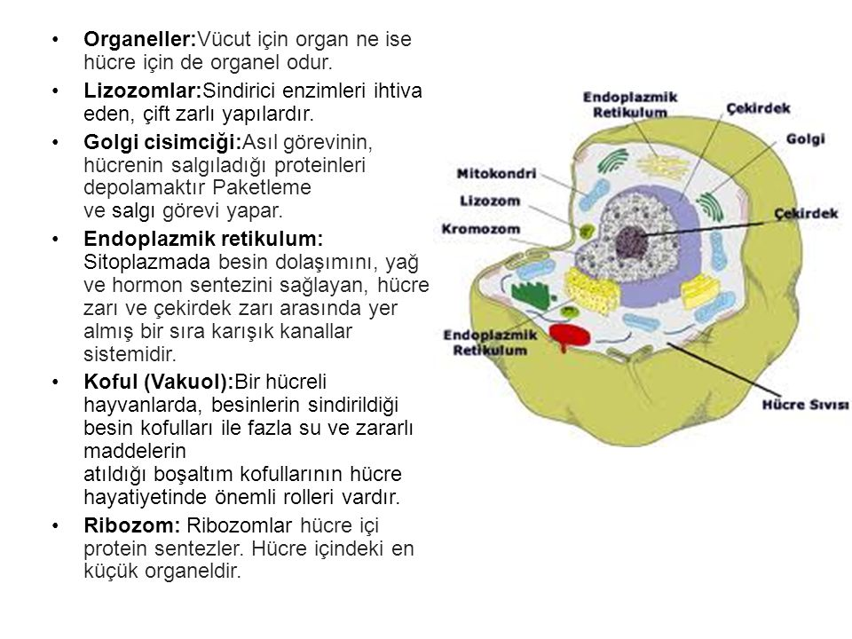Organeller:Vücut için organ ne ise hücre için de organel odur.