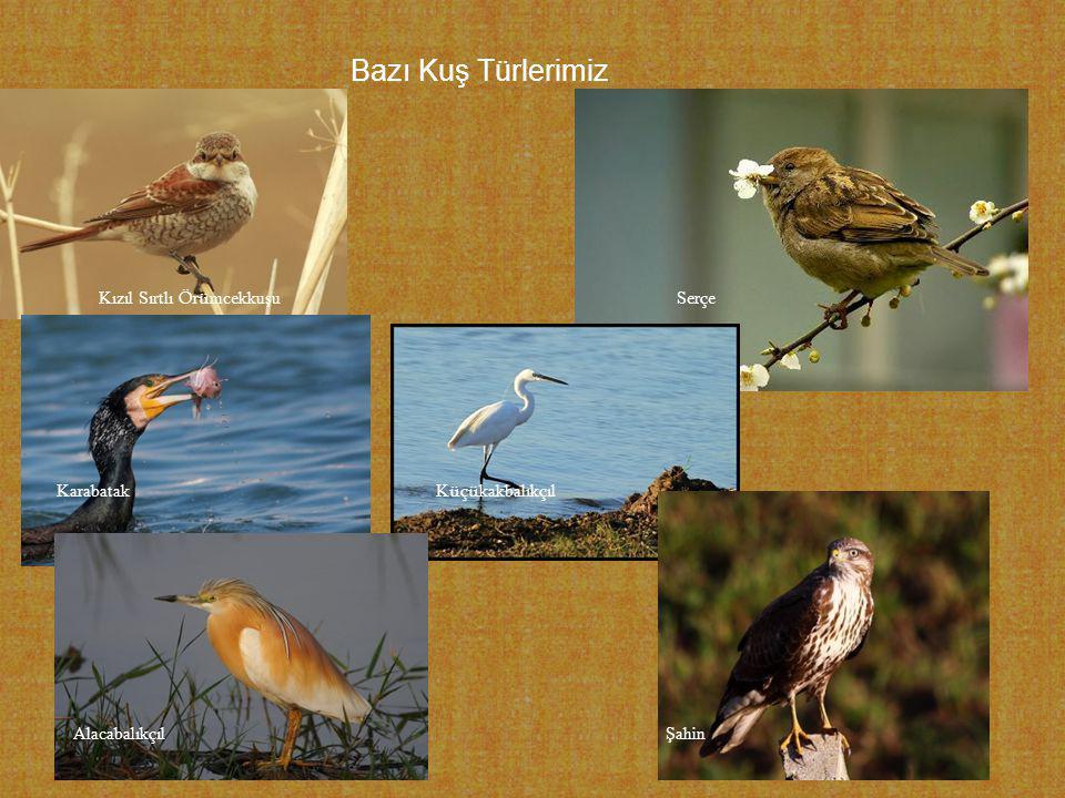 Bazı Kuş Türlerimiz Kızıl Sırtlı Ö r ü mcekkuşu Ser ç e Karabatak K üçü kakbalık ç ıl Alacabalık ç ıl Şahin