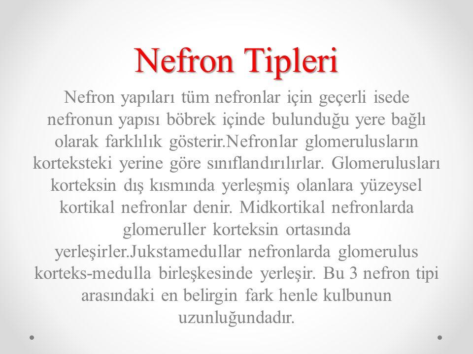 Nefron Tipleri Nefron yapıları tüm nefronlar için geçerli isede nefronun yapısı böbrek içinde bulunduğu yere bağlı olarak farklılık gösterir.Nefronlar