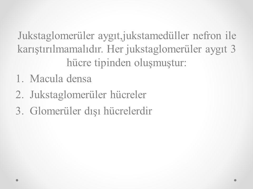 Jukstaglomerüler aygıt,jukstamedüller nefron ile karıştırılmamalıdır. Her jukstaglomerüler aygıt 3 hücre tipinden oluşmuştur: 1.Macula densa 2.Jukstag