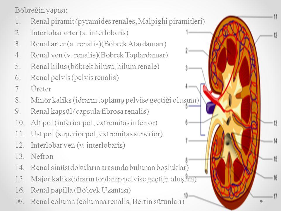 Böbreğin yapısı: 1.Renal piramit (pyramides renales, Malpighi piramitleri) 2.Interlobar arter (a. interlobaris) 3.Renal arter (a. renalis)(Böbrek Atar