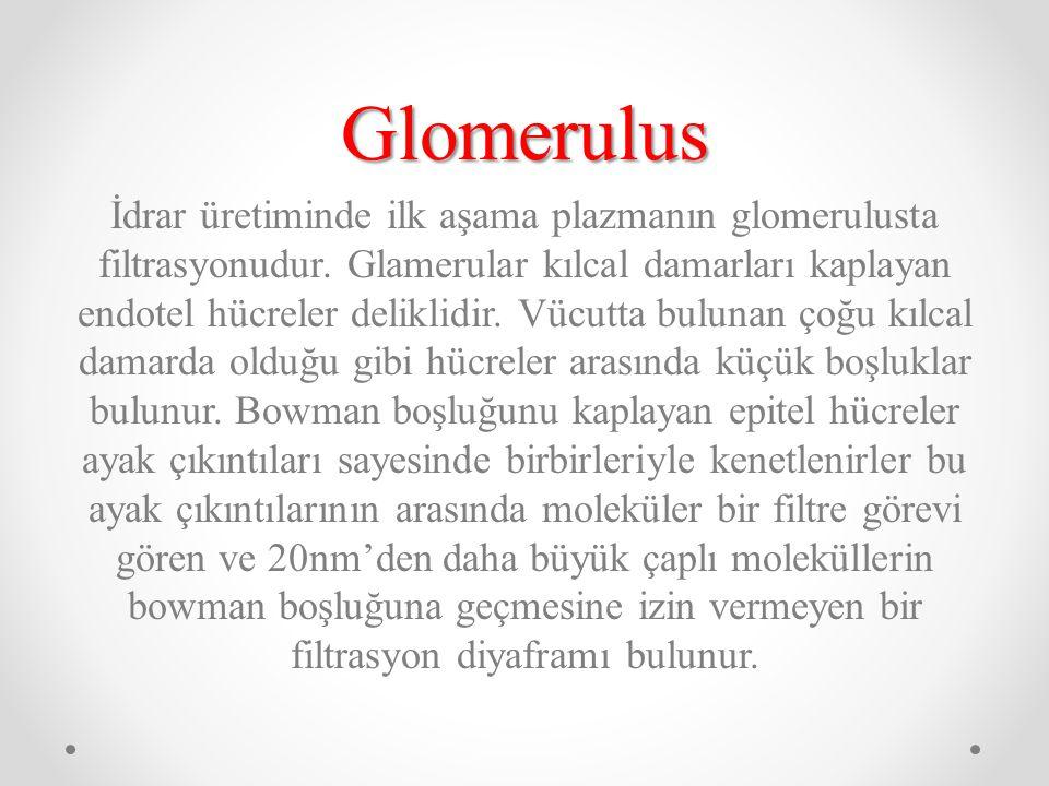 Glomerulus İdrar üretiminde ilk aşama plazmanın glomerulusta filtrasyonudur. Glamerular kılcal damarları kaplayan endotel hücreler deliklidir. Vücutta