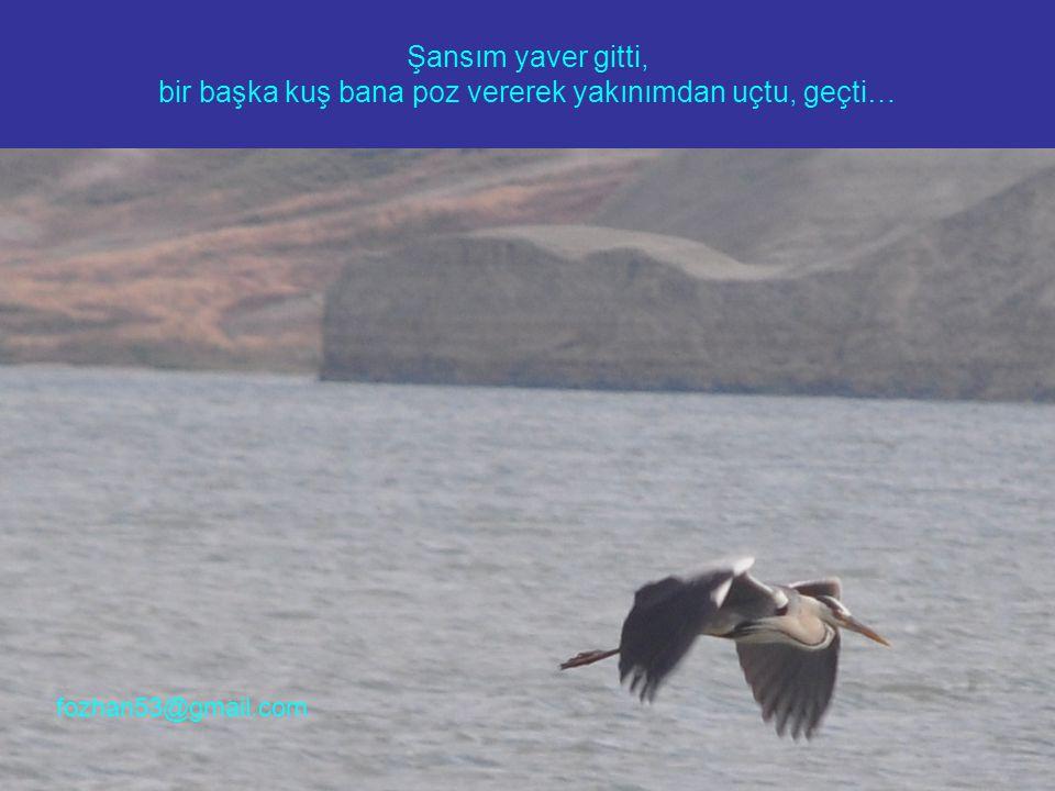 Şansım yaver gitti, bir başka kuş bana poz vererek yakınımdan uçtu, geçti… fozhan53@gmail.com
