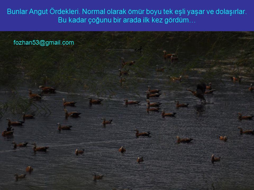 Bunlar Angut Ördekleri. Normal olarak ömür boyu tek eşli yaşar ve dolaşırlar.