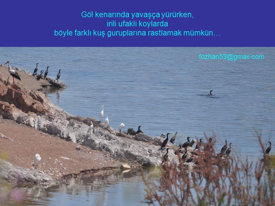 Göl kenarında yavaşça yürürken, irili ufaklı koylarda böyle farklı kuş guruplarına rastlamak mümkün… fozhan53@gmail.com