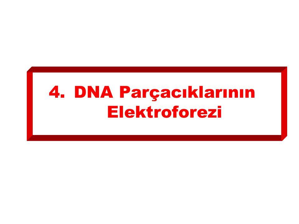 4.DNA Parçacıklarının Elektroforezi