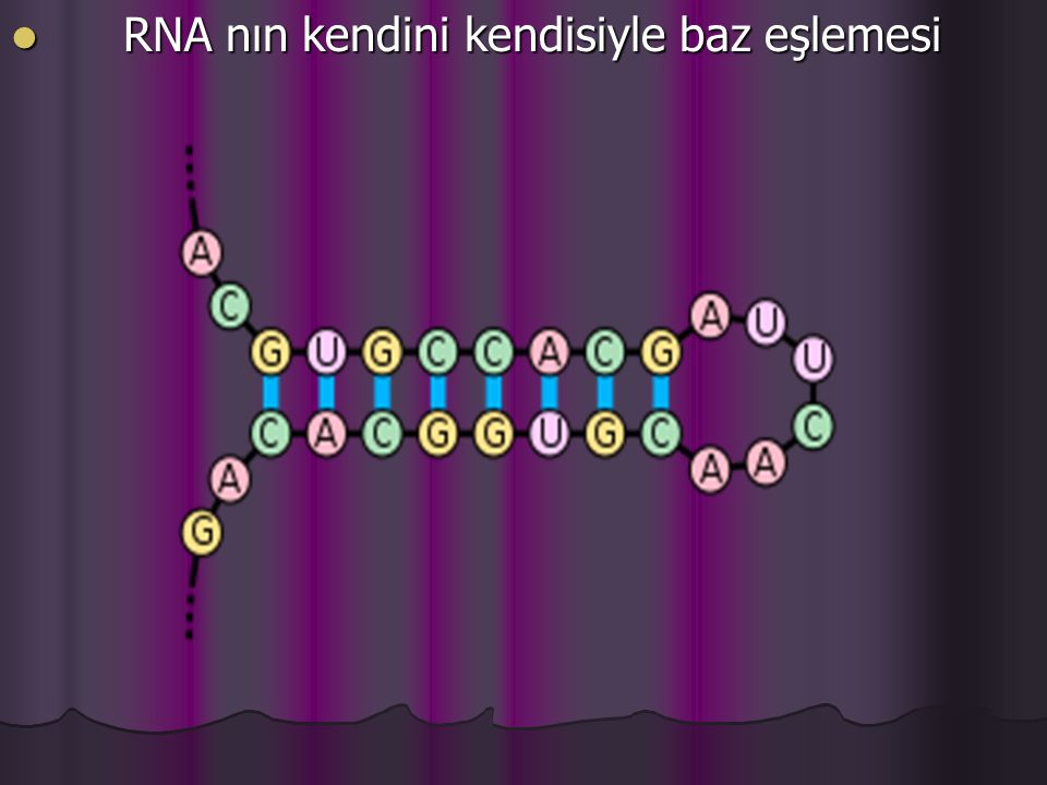 RNA nın kendini kendisiyle baz eşlemesi RNA nın kendini kendisiyle baz eşlemesi