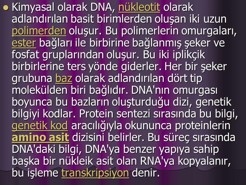 Kimyasal olarak DNA, nükleotit olarak adlandırılan basit birimlerden oluşan iki uzun polimerden oluşur.