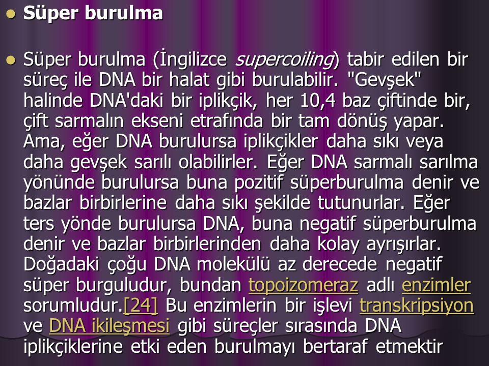 Süper burulma Süper burulma Süper burulma (İngilizce supercoiling) tabir edilen bir süreç ile DNA bir halat gibi burulabilir.