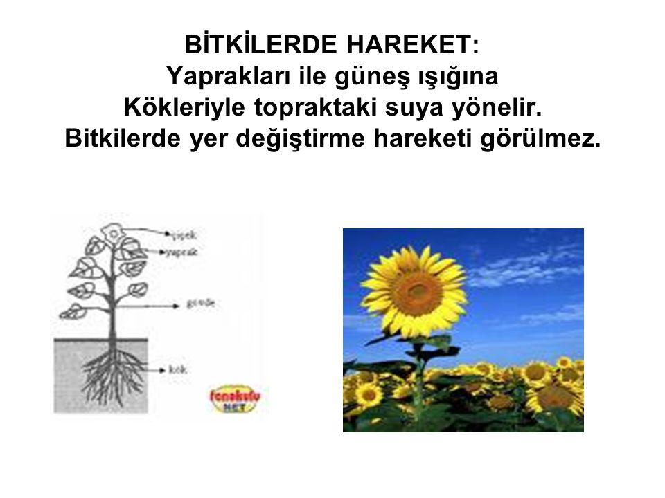 BİTKİLERDE HAREKET: Yaprakları ile güneş ışığına Kökleriyle topraktaki suya yönelir. Bitkilerde yer değiştirme hareketi görülmez.