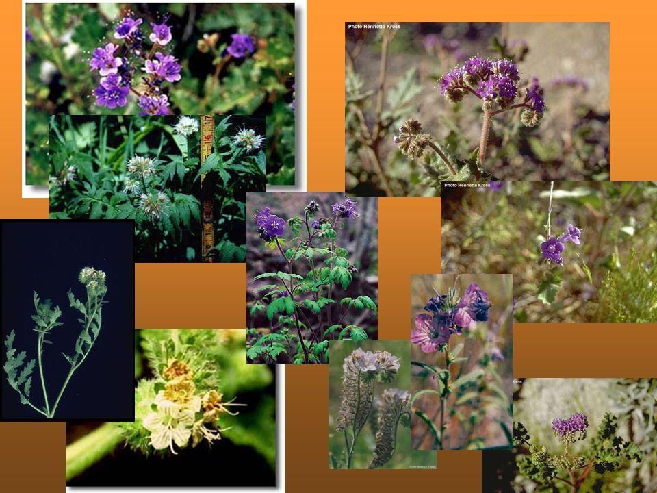 Çiçeklenme Süresi ve Zamanı Ekim işlemi ekim-aralık aylarında yapılmaktadır.