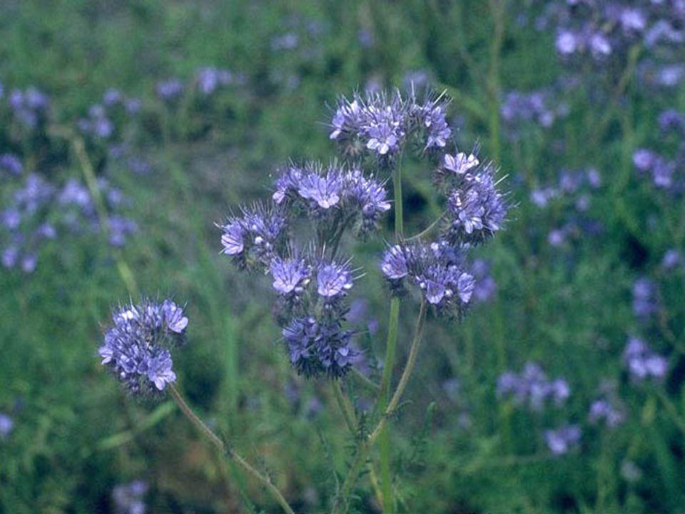 Çiçek Yapısı 5 taç yapraklı olup 5 anter ve 2 parçalı dişi organı bulunmaktadır.