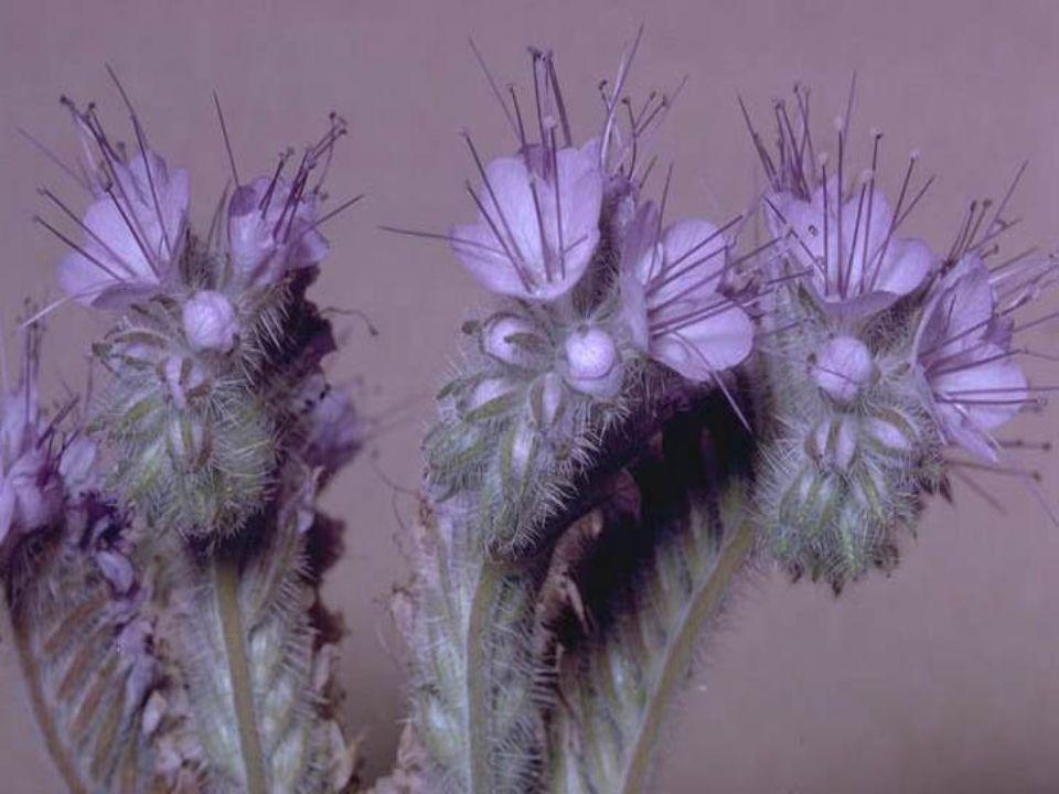 Nektar ve Polen Potansiyeli 0.30-0.66 mg/çiçek/gün nektara sahiptir.