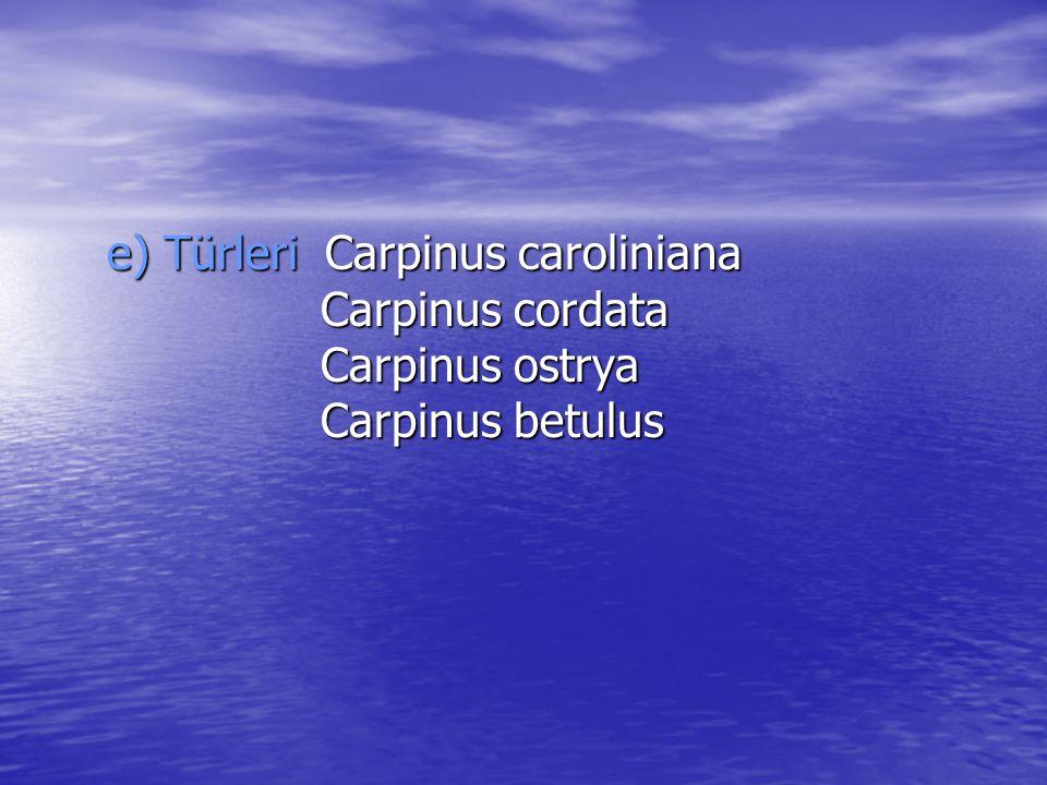 e) Türleri Carpinus caroliniana Carpinus cordata Carpinus ostrya Carpinus betulus e) Türleri Carpinus caroliniana Carpinus cordata Carpinus ostrya Car