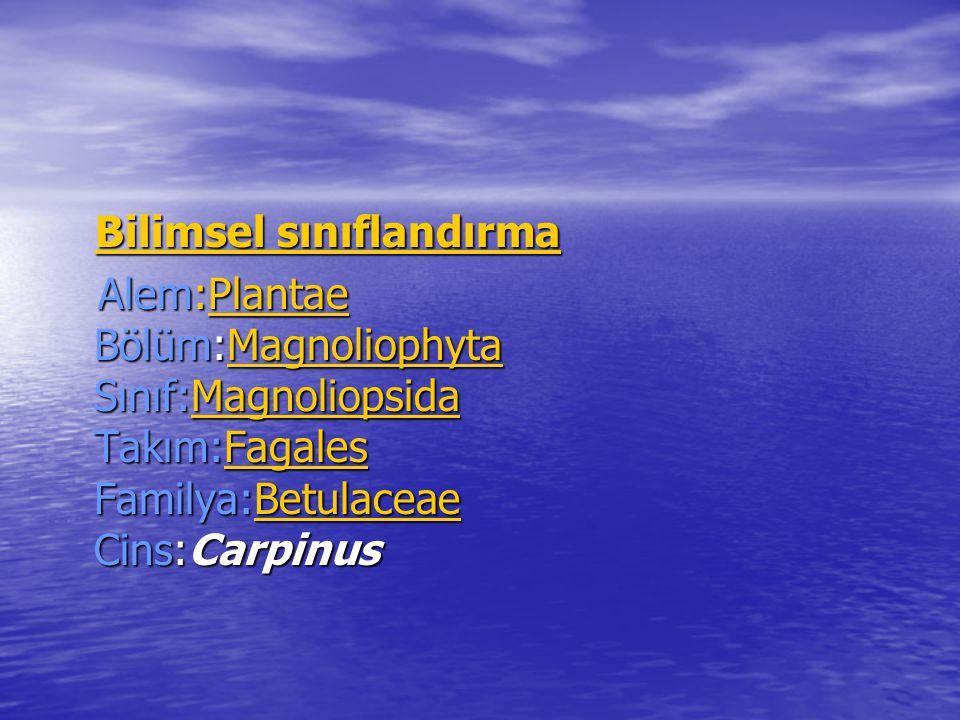 Bilimsel sınıflandırma Bilimsel sınıflandırmaBilimsel sınıflandırmaBilimsel sınıflandırma Alem:Plantae Bölüm:Magnoliophyta Sınıf:Magnoliopsida Takım:Fagales Familya:Betulaceae Cins:Carpinus Alem:Plantae Bölüm:Magnoliophyta Sınıf:Magnoliopsida Takım:Fagales Familya:Betulaceae Cins:CarpinusPlantaeMagnoliophytaMagnoliopsidaFagalesBetulaceaePlantaeMagnoliophytaMagnoliopsidaFagalesBetulaceae