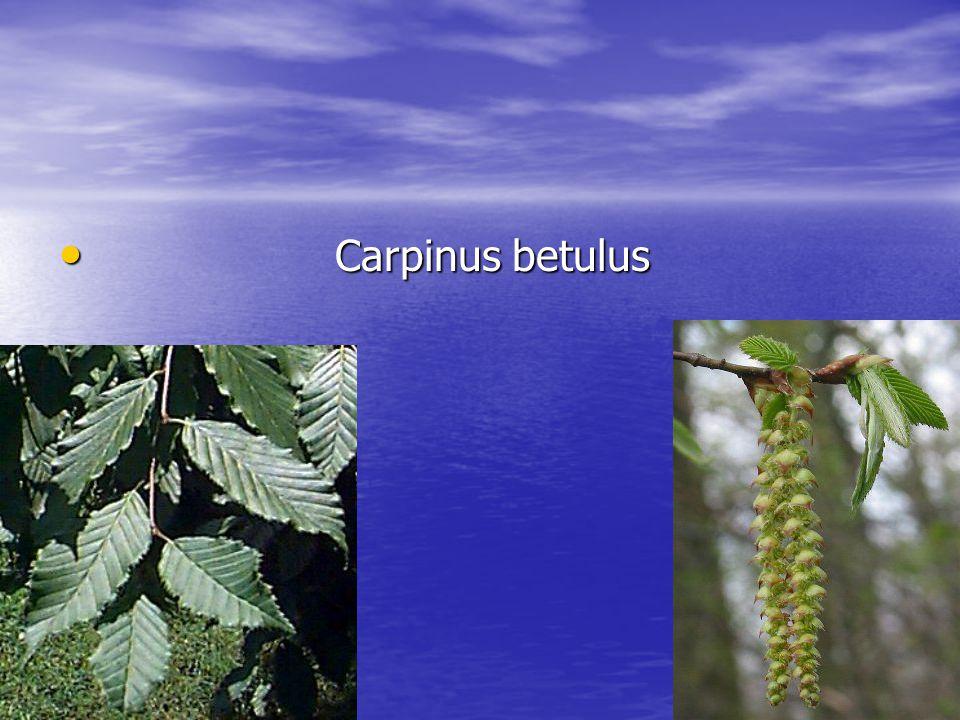 Carpinus betulus Carpinus betulus