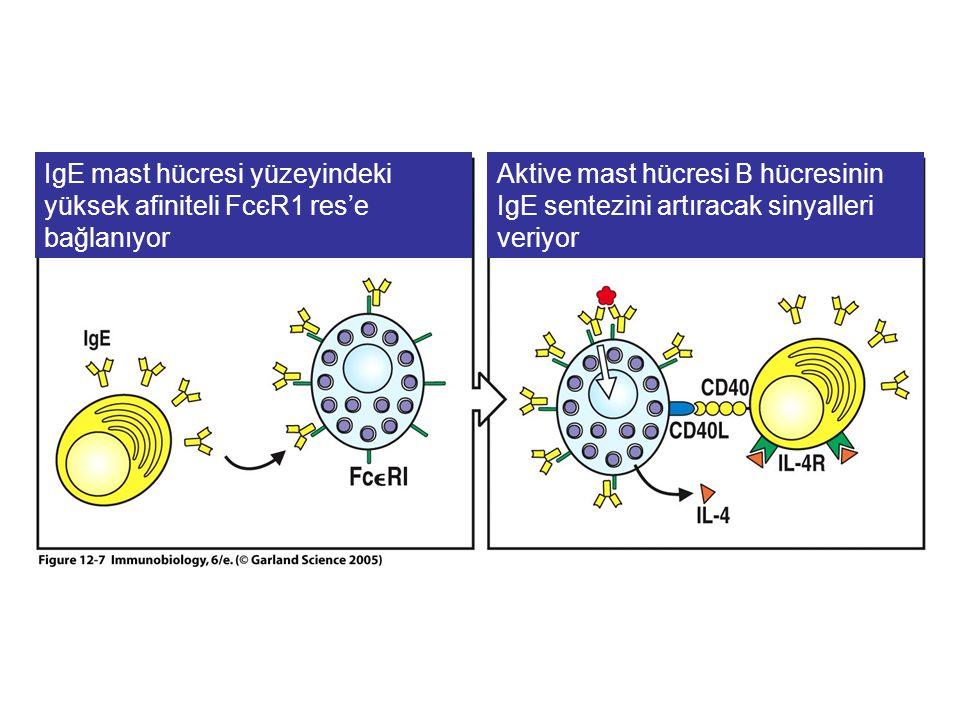 Histamin Triptaz PGD2 LTC4 PAF IL-3 IL-4 IL-13 TNF-  GM-CSF Mast hücresi Aktive mast hücresi