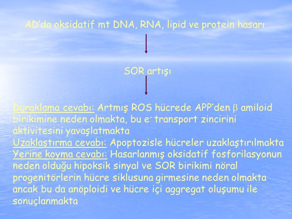 AD'da oksidatif mt DNA, RNA, lipid ve protein hasarı SOR artışı Duraklama cevabı: Artmış ROS hücrede APP'den  amiloid birikimine neden olmakta, bu e - transport zincirini aktivitesini yavaşlatmakta Uzaklaştırma cevabı: Apoptozisle hücreler uzaklaştırılmakta Yerine koyma cevabı: Hasarlanmış oksidatif fosforilasyonun neden olduğu hipoksik sinyal ve SOR birikimi nöral progenitörlerin hücre siklusuna girmesine neden olmakta ancak bu da anöploidi ve hücre içi aggregat oluşumu ile sonuçlanmakta