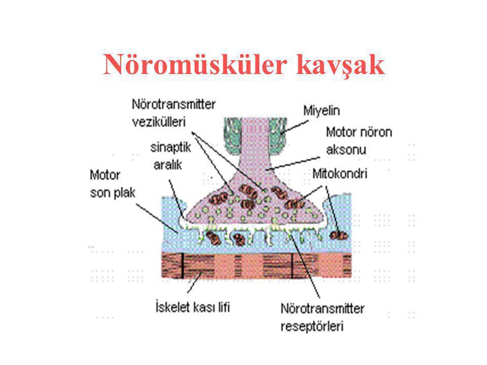 Nöromüsküler kavşak