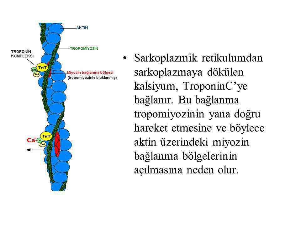 Sarkoplazmik retikulumdan sarkoplazmaya dökülen kalsiyum, TroponinC'ye bağlanır. Bu bağlanma tropomiyozinin yana doğru hareket etmesine ve böylece akt