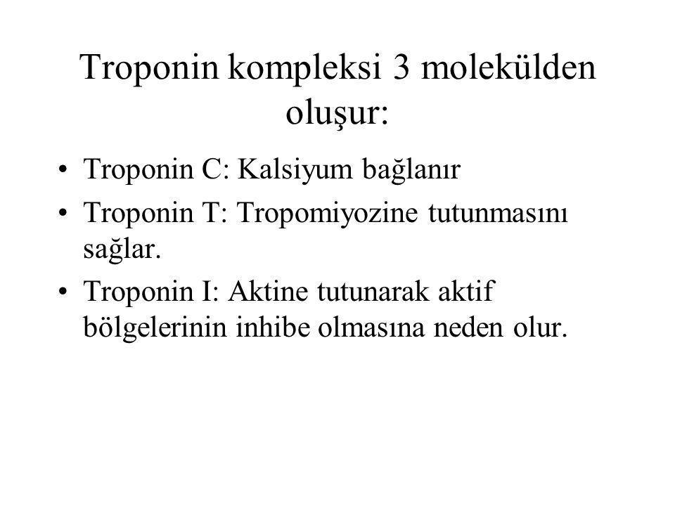 Troponin kompleksi 3 molekülden oluşur: Troponin C: Kalsiyum bağlanır Troponin T: Tropomiyozine tutunmasını sağlar. Troponin I: Aktine tutunarak aktif