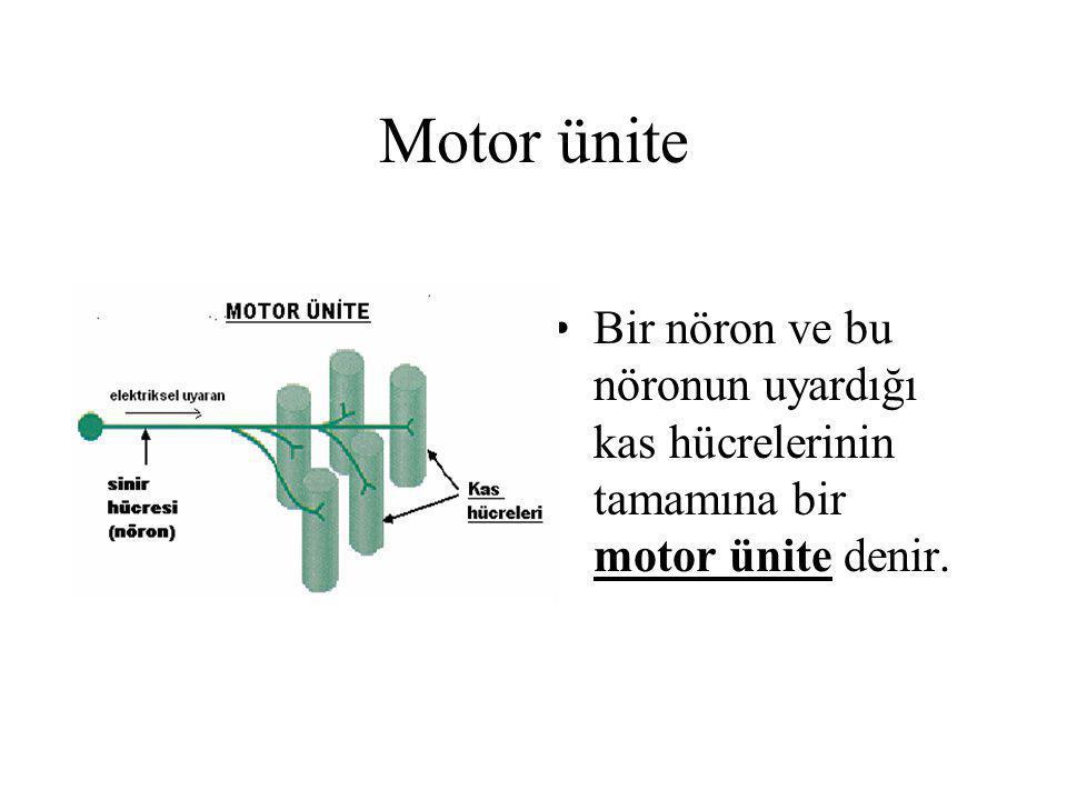 Motor ünite Bir nöron ve bu nöronun uyardığı kas hücrelerinin tamamına bir motor ünite denir.