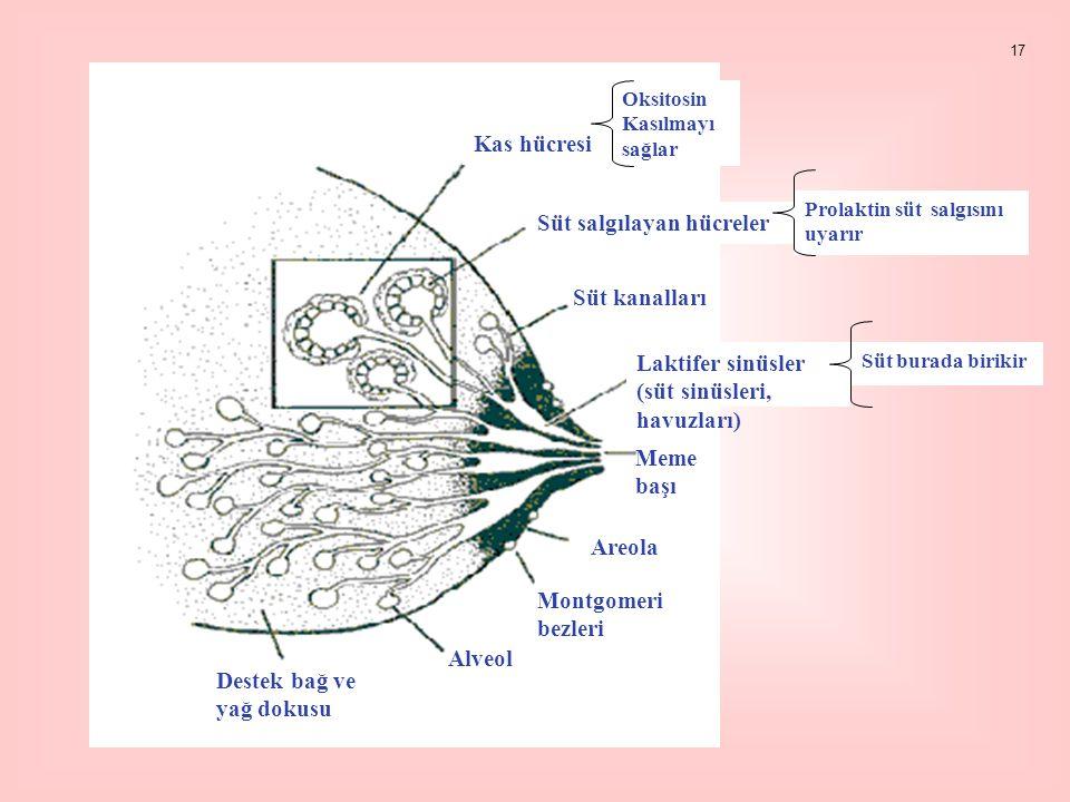 Kas hücresi Oksitosin Kasılmayı sağlar Süt salgılayan hücreler Prolaktin süt salgısını uyarır Süt kanalları Laktifer sinüsler (süt sinüsleri, havuzları) Süt burada birikir Meme başı Areola Montgomeri bezleri Alveol Destek bağ ve yağ dokusu 17