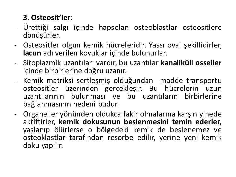 3. Osteosit'ler: -Ürettiği salgı içinde hapsolan osteoblastlar osteositlere dönüşürler. -Osteositler olgun kemik hücreleridir. Yassı oval şekillidirle