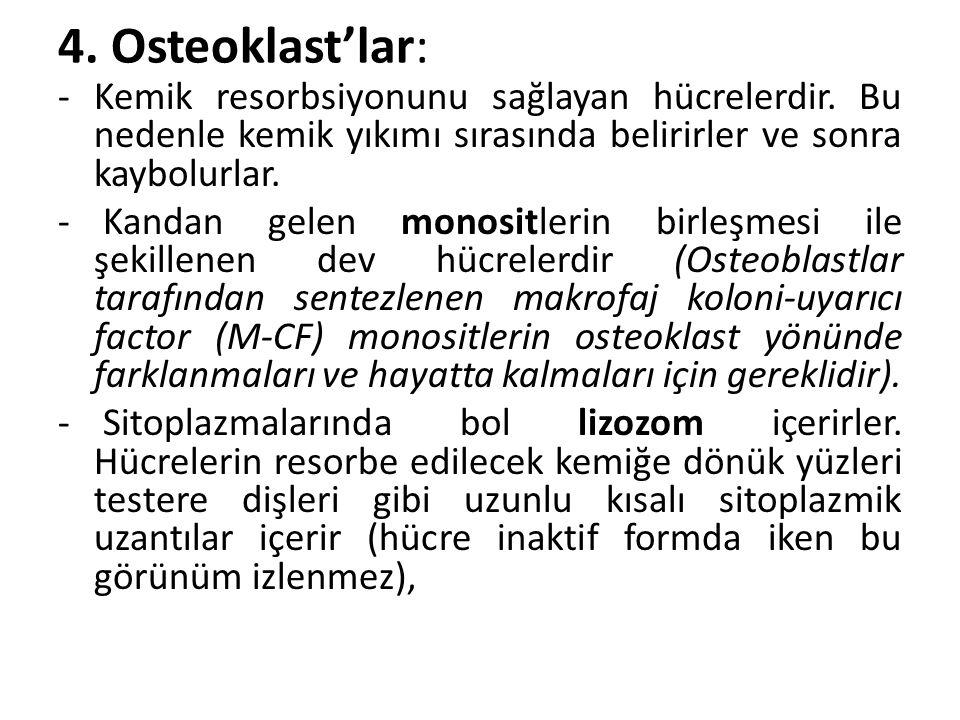 4. Osteoklast'lar: -Kemik resorbsiyonunu sağlayan hücrelerdir. Bu nedenle kemik yıkımı sırasında belirirler ve sonra kaybolurlar. - Kandan gelen monos