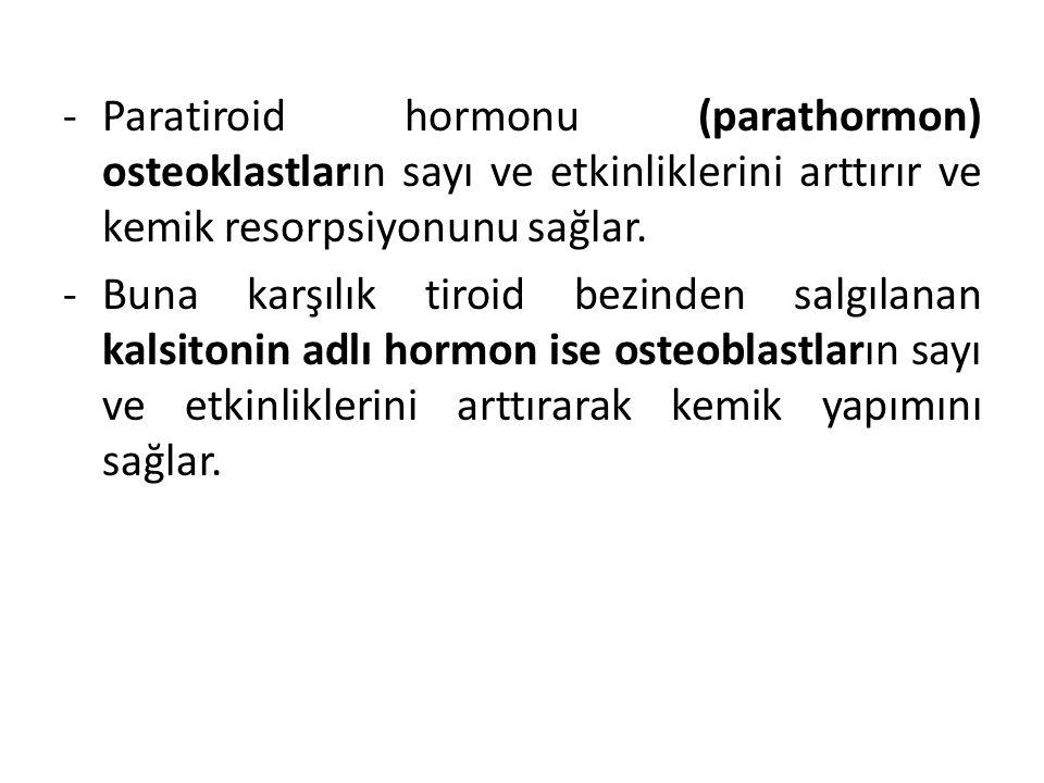 -Paratiroid hormonu (parathormon) osteoklastların sayı ve etkinliklerini arttırır ve kemik resorpsiyonunu sağlar. -Buna karşılık tiroid bezinden salgı