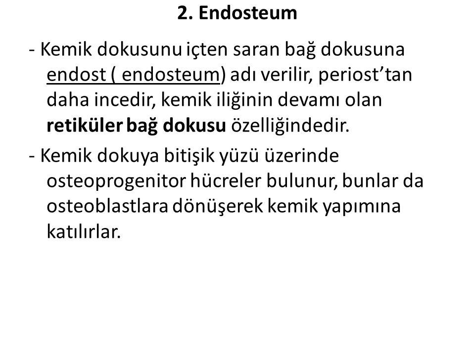 2. Endosteum - Kemik dokusunu içten saran bağ dokusuna endost ( endosteum) adı verilir, periost'tan daha incedir, kemik iliğinin devamı olan retiküler